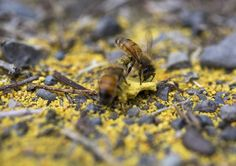 Two honeybees rub pollen on their bodies to bring back to their hive from the ground of Smudgie Goose Farms on Saturday. Due to warm temperatures in Central Oregon the beekeepers at Smudgie Goose Farms feed the bees pollen because of a lack of natural pollen.