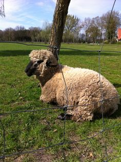 Abel Baa Baa Black Sheep, Llama Alpaca, Alpacas, Camels, Ducks, Goats, Fiber, Animals, Sheep