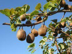 Kiwi (Actinidia chinensis) : plantation, culture, entretien - Arbre fruitier du jardinKiwi (Actinidia chinensis)