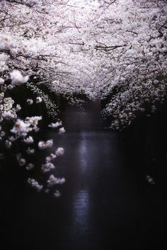 River of cherry tree in full bloom, Tokyo, Japan