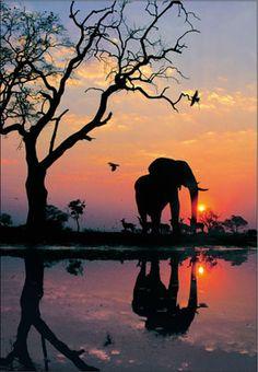 Bull African Elephant