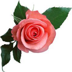 цветы в пнг - Поиск в Google