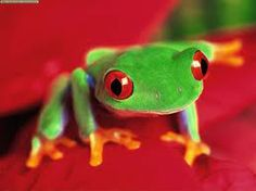 Frogs      red eyed tree frog