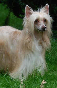 Chinese Crested Poweder Puff Dog Dogs Puppy Hounds Puppies