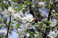 My apple tree is in full bloom and it had a few visitors this weekend