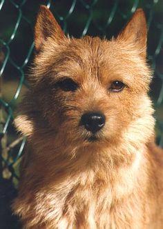 Norfolk Terrier Puppies, Norwich Norfolk, Norwich Terrier, Cairn Terriers, Cutest Dogs, Snow Scenes, Dog Photos, Fur Babies, Dog Breeds