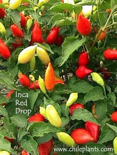 INCA RED DROP - hot; Andean Aji Type; 1 to 1.5 inches long by 0.5 to 0.75 inches wide; medium thick flesh; matures from yellowish green to orange to bright red; upright pods; green leaves; 18 to 24 inches tall; Mid Season (70-80 days)
