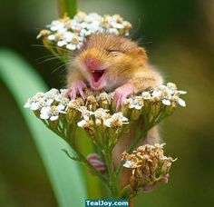 Happy field mouse is happy