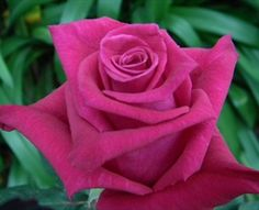 Flash Baccara - Standard Rose - Roses - Flowers by category | Sierra Flower Finder
