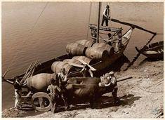 As juntas de bois eram não apenas fundamentais para levar as pipas até aos rabelos, como para os puxar com cordas desde a margem nas viagens de regresso ao Douro quando a corrente se mostrava mais forte. ©CASA ALVÃO, COLECÇÃO DO INSTITUTO DOS VINHOS DO DOURO E DO PORTO, I.P. DR