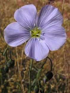 Geranium Pratense, Colorado Wildflowers, Geraniums, Stems, Bud, Wild Flowers, Sunrise, Number, Space