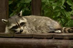 Keeping raccoons out of your campsite!