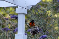 Male Baltimore Oriole eating from the grape jelly feeder Tammy Taylor-Kosiba's Photography 2012