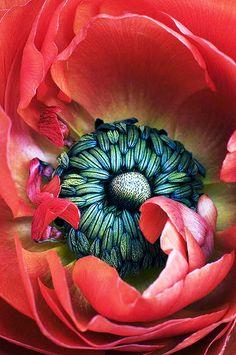 Red ranuculus - ©Julie Scholz - http://juliescholz.imagekind.com/store/imagedetail.aspx/00ca1c06-9f58-4c07-85eb-7ea02f917bf4/A_Little_Piece_of_Heaven