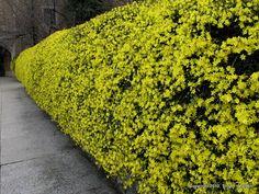 GELSOMINO D'INVERNO (Jasminum Nudiflorum) a siepe - Floricoltura Varanese