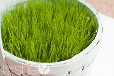 Grow your own easter grass!!