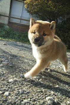 Baby Shiba inu - Want one so bad!