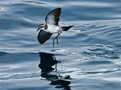 a. White faced storm petrels new zealand