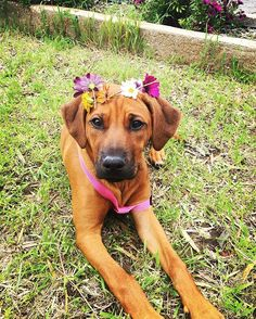 Then mum made me wear this stupid daisy crown   #projectrr #projectrrfamilymember #Wolfpack #watchdogs #hounds #ridgebackfamily #honey  #ridgebacksofinstagram #ridgebacks #ridge #rhodesianridgebacksofinstagram #rhodesianridgeback #rhodesiansofinstagram #dogsofinstagram #18weeksold #pretty #ridgebacklove #ridgebackpuppy #ridgies #lionhunter #beautiful #australian #africanlionhound #pet #petsofinstagram #petstagram #dogsofinstagram #dogoftheday #doglover #projectrr #rhodesianridgeback_fe...