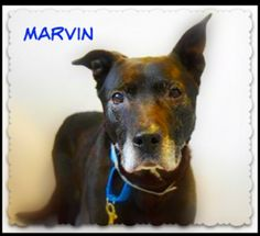((SUPER URGENT))  UPDATE 4/16/15 MARVIN is Deteriorating at The Shelter and Could Now Be Put Down!!  This is a very Urgent Situation! This Poor Senior Boy Needs Out Now! He's a gentle, sweet 9 yr old Lab. Retreiver mix in DESPERATE NEED of a quiet new home or temporary foster home where he can enjoy naps on a soft bed.  Only 49 lbs. https://www.facebook.com/SandysPets?fref=photo