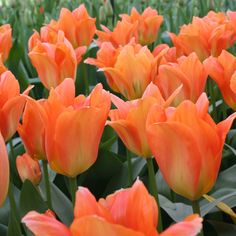 Orange Emperor Tulip (Fosteriana)