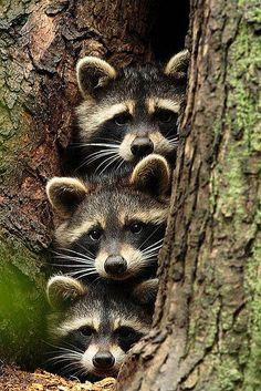 """Raccoon """"He's gone right?"""" Raccoon """"Ya is he?"""" Raccoon """"I think so, ya I think. Cute Creatures, Beautiful Creatures, Animals Beautiful, Woodland Creatures, Animals Amazing, Cute Funny Animals, Cute Baby Animals, Nature Animals, Animals And Pets"""