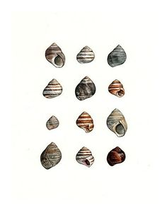 shell watercolor