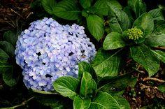 https://flic.kr/p/aE2FG9   Plantas de Venezuela: Hortensia   Hydrangea macrophylla Serv. SAXIFRAGACEAE Origen: China y Japón.