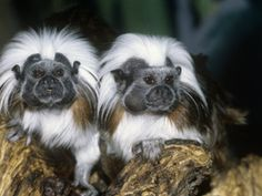 Cotton-Top Tamarins, a New World Rainforest Primate that lives in Columbia, South America