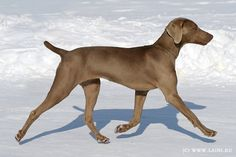 What gorgeous form on this Weim.