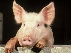 large white pig - Google Search