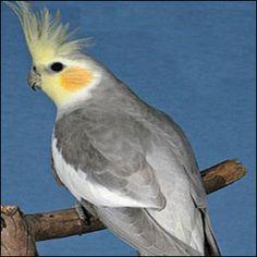 Rare Cockatiels