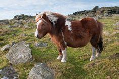 Hill Pony on Rowtor, Dartmoor
