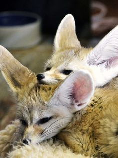 funkysafari:  Fennec Foxes by Mark…L