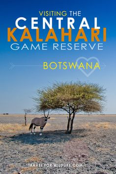 The Central Kalahari Game Reserve offers some of the best Kalahari camping in Botswana. Looking for a true wilderness camping experience? You've found it!
