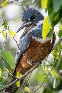 Ringed-Kingfisher (female)