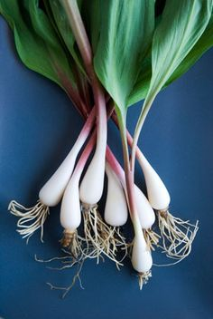 A Quick Guide to Growing Ramps; a.k.a. wild leek or Allium tricoccum, are a delicious spring food native to rich, moist, deciduous forests in the upper Midwest, Mid‑Atlantic, and northeastern United States. The stems and broad leaves have a mild garlic‑onion flavor and can be enjoyed raw, cooked, or pickled. They appear for a short period in the early spring and may even make it to your local supermarket.