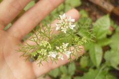 quintalzin - Flor do coentro