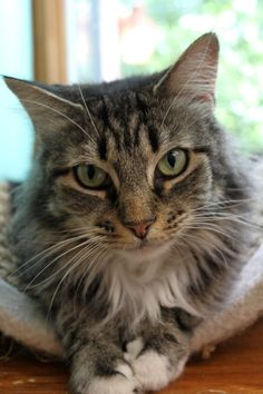 Isabelle is up for adoption at Mid Hudson Animal Aid, Beacon, NY #adoptme