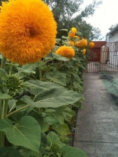 I need some Teddy Bear sunflowers - Modern Amazing Flowers, Yellow Flowers, Beautiful Flowers, Sun Flowers, Beautiful Things, Giant Sunflower, Sunflower Garden, Love Garden, Flower Beds