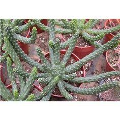 Euphorbia inermis 9cm pot