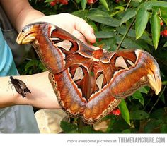 A magnificent creature of nature…the Atlas Moth, the largest moth species with a wing span of 30 cm. is most commonly found in southeast Asia. Despite it's grandeur, it will only live about a week.