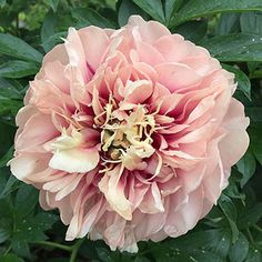 How utterally gorgeous!! (for when I have nothing else to do with my money!)  Caroline Constabele Itoh Peony