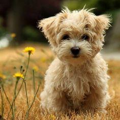 teddy bear dogs ❤
