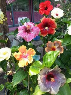 Hibiscus Flowers, Tropical Flowers, Unusual Flowers, Beautiful Flowers, Clay Flower Pots, Rose Of Sharon, Flower Decorations, Indoor Plants, House Plants