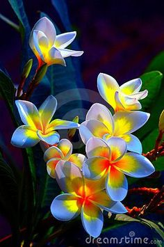 Group of beautiful frangipani flowers background. They remind me of Superman ice cream!
