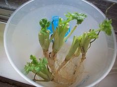 Cilantro   Growing Food From Scraps   37 Kitchen Scraps You Can Regrow