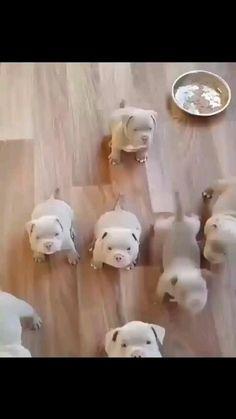 cute video pitbull puppies