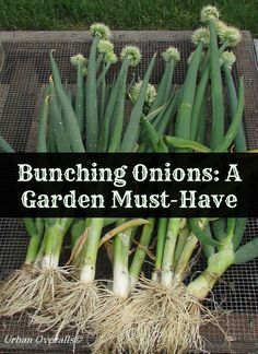 Not all onions are the same. Bunching onions are a great perennial onion for your garden. In fact, you can plant once and then harvest for years to come. Vegetable Garden Tips, Veg Garden, Garden Plants, Garden Beds, Garden Fun, Garden Gate, Fruit Garden, Easy Garden, Spring Garden