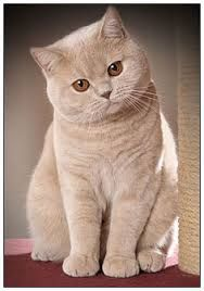 british shorthair kittens - Google Search does my Baby Joe Joe look like this now? I'm sure he's grown up.